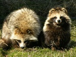 Raccoon Dog (Nyctereutes procyonoides)